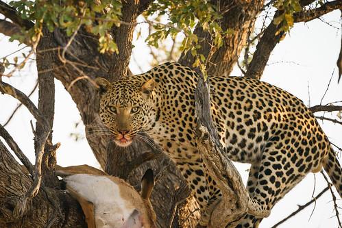Leopard Feasting on Impala, Botswana