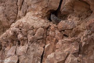 Pharaoh Eagle-Owl /Ökenuv  (Bubo ascalaphus)