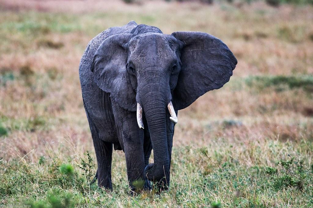 Maasai Mara_13sep18_04_elefant2