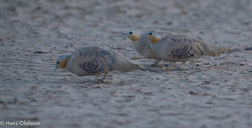 Spotted Sandgrouse /Ökenflyghöna (Pterocles senegallus)