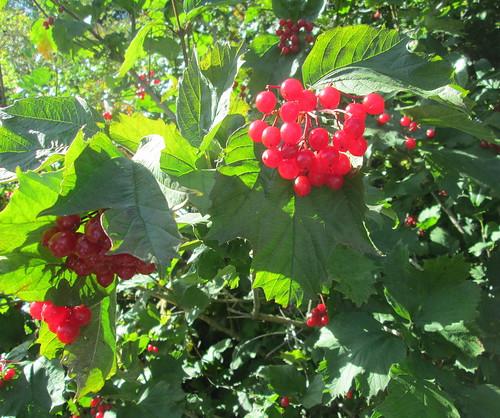 Viburnum berries | by piningforthewest