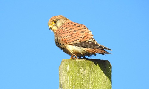 Kestrel. Hale Village. October 2018 | by Danny Foy