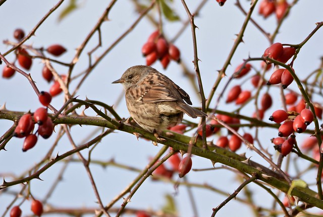 Dunnock and hips.