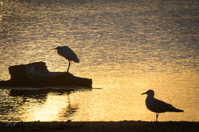 Garcilla y gaviota en el estanque de la Gola del pujol al amanecer