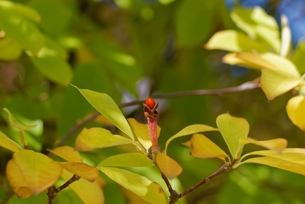 La graine de magnolia - The seed of the magnolia