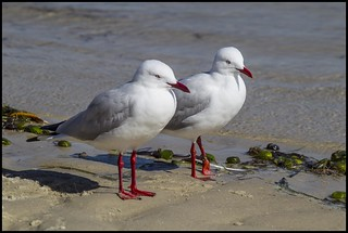 Mum and Dad Sea Gull=   by Sheba_Also 15.6 Million Views