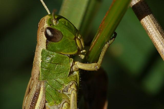 Grasshopper Macro at Tichfield Canal, Hampshire, UK