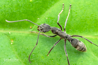 Fingerprint ant (Diacamma sp.) - DSC_3106