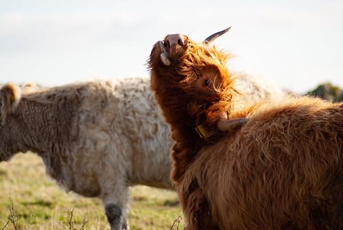 Cattle on Davidstow Moor