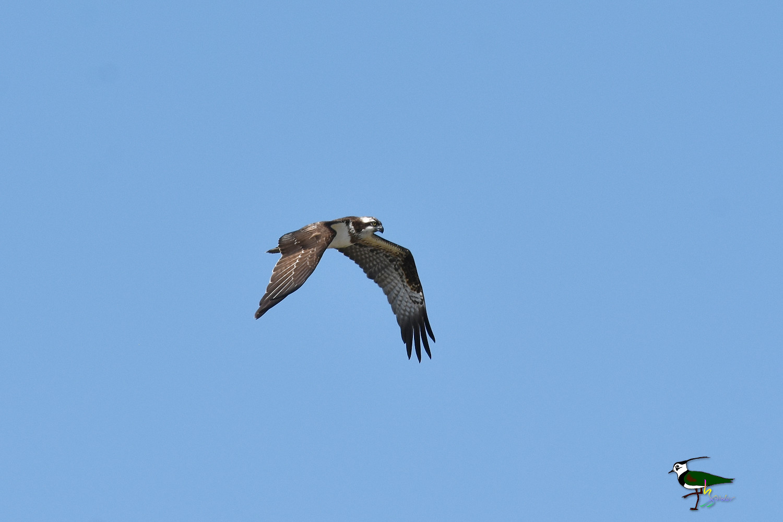 Osprey_0592