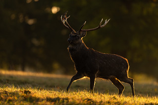 Sika Stag | by Rob'81
