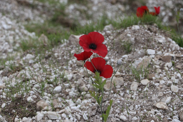 Poppies in the WW1 area