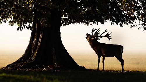 Red Deer Misty Roar   by Rob'81