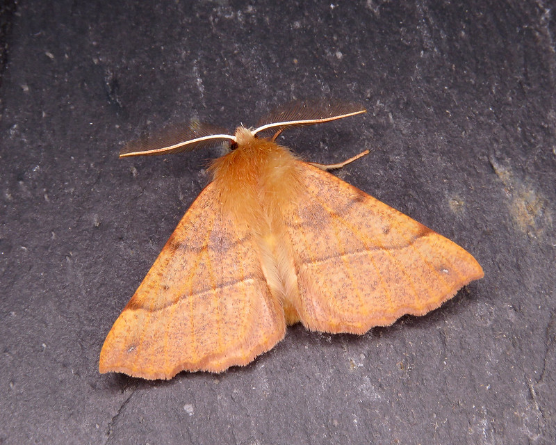 70.244 Feathered Thorn - Colotois pennaria