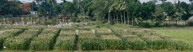 Aerial View of Maize Trials at Sasya Shyamala KVK, Arapanch, Kolkata