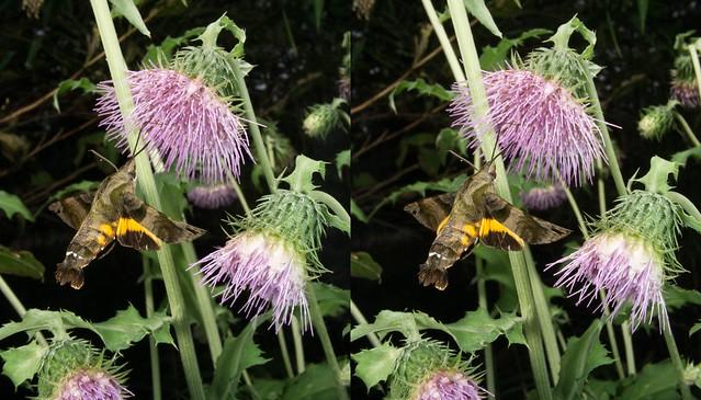 Macroglossum pyrrhosticta, stereo cross view
