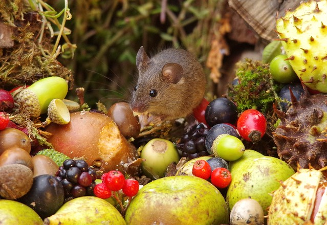 wild house mouse with wild picked fruits nuts and berries Autumn display (8)