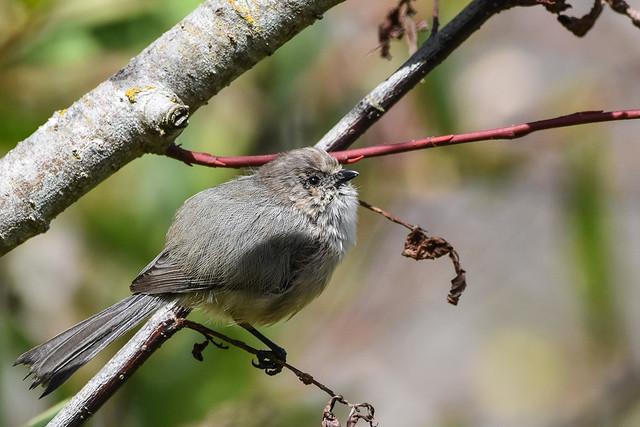 Bushtit on Mackenzie's Willow (Salix prolixa)