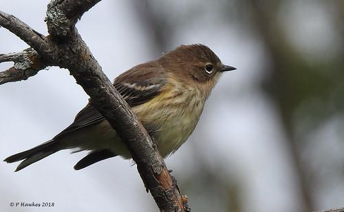 bird yellowrumpedwarbler mallardpoint