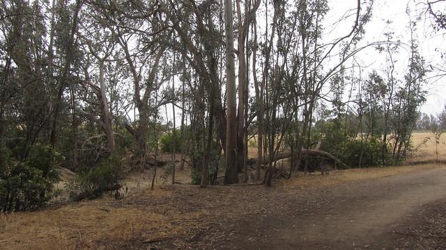 IMG_4842 Ellwood Sperling eucalyptus trees forest