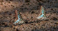 Graphium antheus (Large Striped Swordtail) (B00082, GH00053)