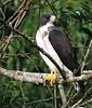 Buteo brachyurus (Águila o Gavilán rabicorto - Short-tailed Hawk) by Alejandro Bayer