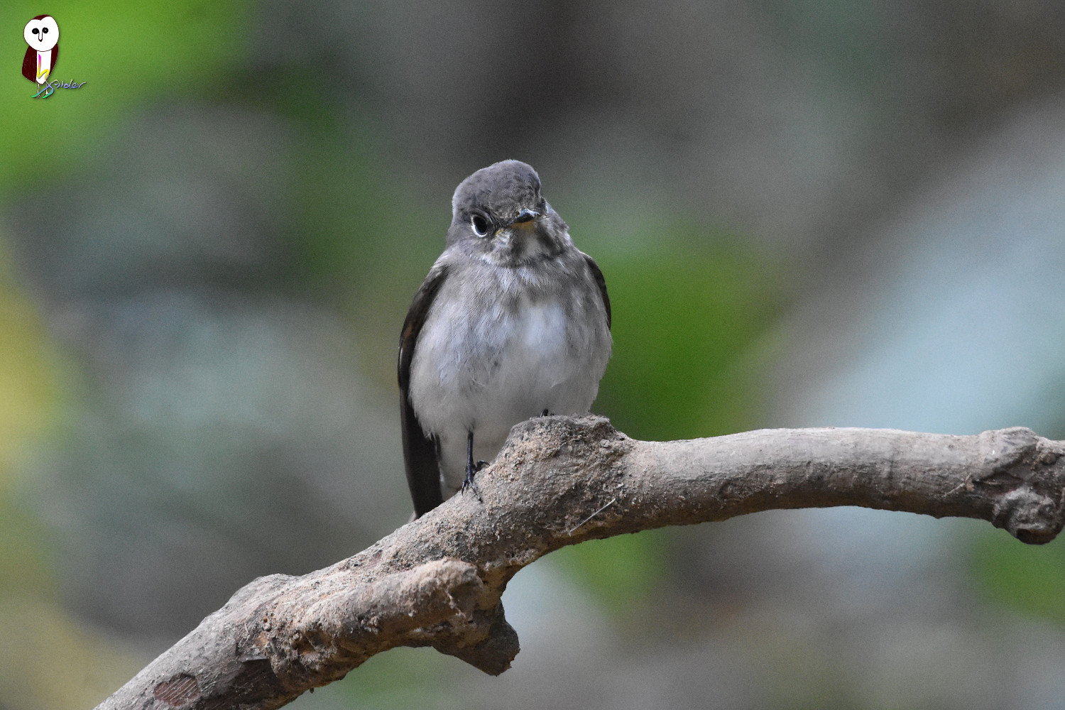 Dark-sided_Flycatcher_5100