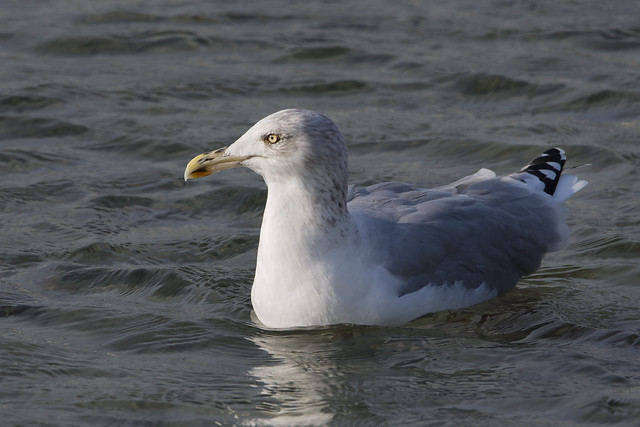 European Herring Gull (Larus argentatus) Gråtrut