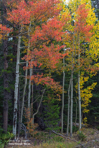 red trees autumn fall foliage wilderness woods forest rockymountains colorado nature landscapes travel jamesboinsogna photography unitedstates boulder bouldercounty aspens