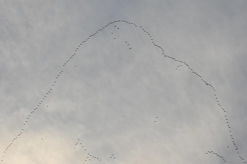 nature tiere animals birds vögel zugvögel migratorybirds birdmigration formation migration season autumn