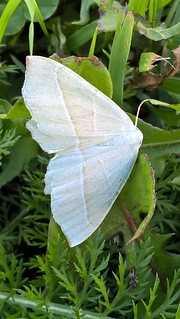 WPCampaea margaritaria Light Emerald Moth 18.09.18 Kidderminster._20180912_17_25_28_Pro