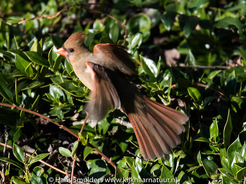 Northern cardinal (Cardinalis cardinalis)-818_6662