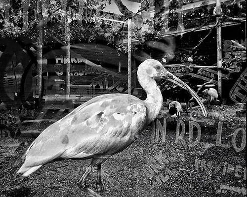 Street ibis. #bw #monochrome #doubleexposure #drusillas