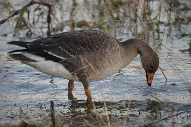 Greater White-fronted Goose, Anser albifrons, Белолобый гусь
