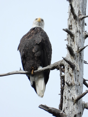 october 3 2018 13:10 - Eagle in Fosters* Fir | by boonibarb