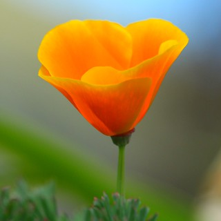 Califorian Poppy 20181007134618_IMG_2666-01 | by Dirk Pons
