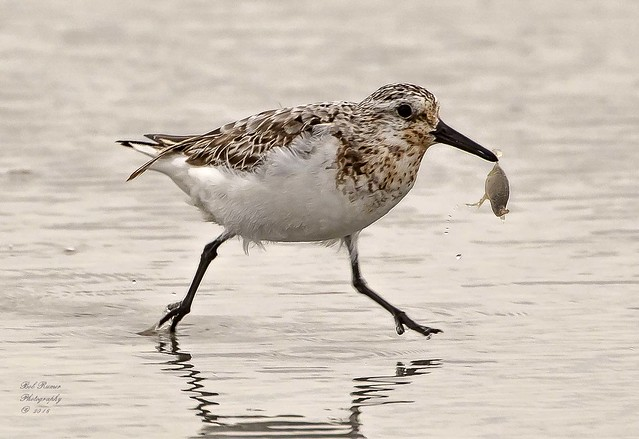 Sanderling with Sand Flea. (Explored)