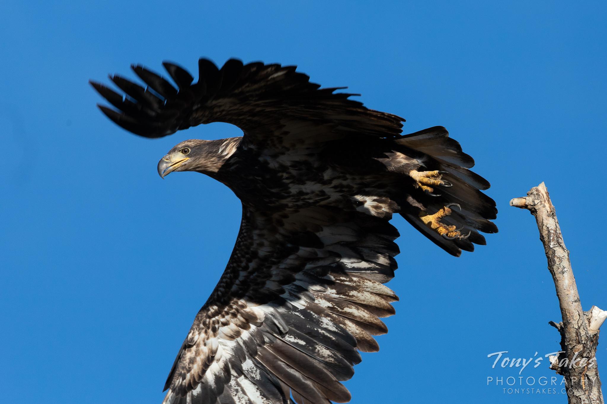 Juvenile Bald Eagle takes flight