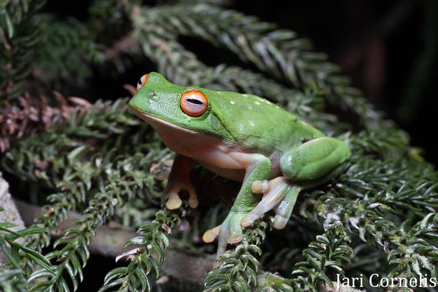 Southern Orange-eyed Tree Frog (Litoria chloris)