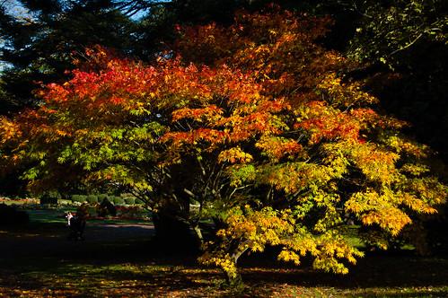 Colours of autumn: Japanese acer, West Park