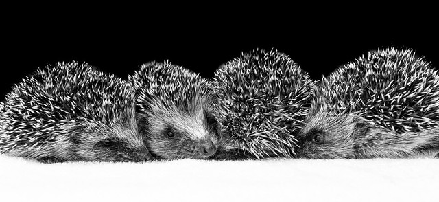 Young Hedgepigs