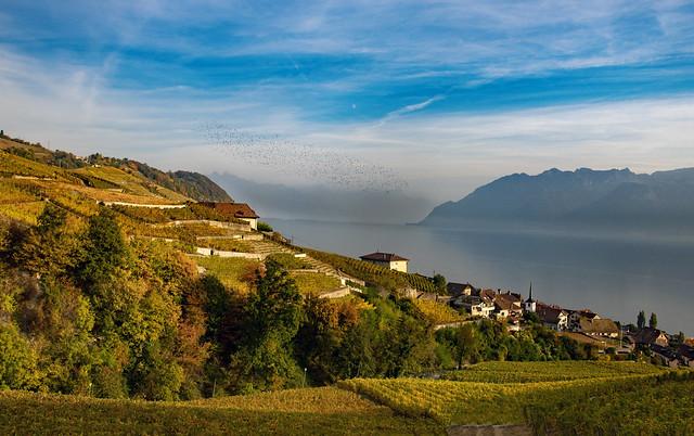 Swiss autumn time in Lavaux.  Image automnale de Lavaux ; Oiseaux survolant le village de Riex. Canton de Vaud. Switzerland.  izakigur 17.10.18, 17:24:50  No. 389 390.