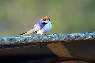 Wire-tailed swallow   by dmmaus