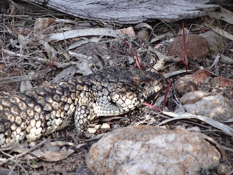 Ein Shingleback Lizard (Echse).