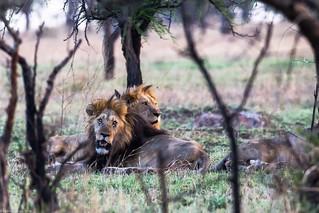 Serengeti_17sep18_07_lei satui2 | by Valentin Groza