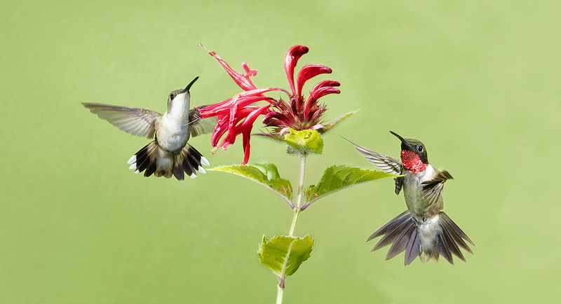 Ruby-throated Hummingbirds by Dean Newman
