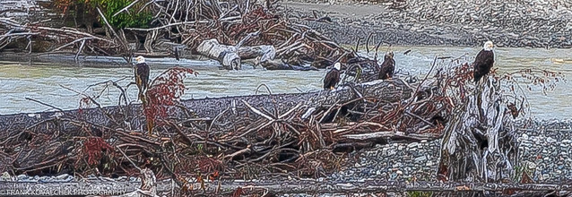 Eagles hanging out on the Salmon River