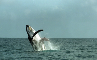 Breaching Whale | by TAZMPictures
