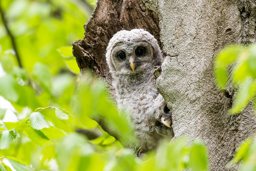 Photo of barred owlets peeking out of tree