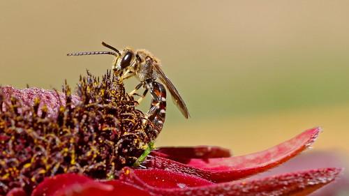 Slender Mining Bee - Lasioglossum (Evylaeus) calceatu ( thanks to Pete Beard for ID ) | by jaytee27